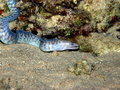Blue striped Moray Eel Red Sea Royalty Free Stock Photography