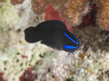 Blue Stripped Dottyback