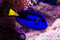 Blue surgeonfish close up of a indian ocean Stock Photography