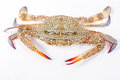 Blue swimmer crab on white background Royalty Free Stock Photo