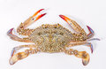 Blue swimmer crab on white background Royalty Free Stock Photos