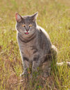 Blue tabby cat in grass Stock Photography