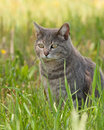 Blue tabby cat sitting in the shade of a tree spring grass Stock Photos