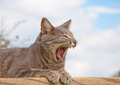 Blue tabby cat yawning Royalty Free Stock Images