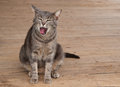 Blue tabby kitty cat yawning Stock Photos