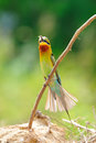 Blue-Tailed Bee Eater Stock Photos