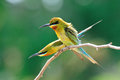 Blue-Tailed Bee Eater Stock Images