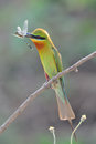 Blue-Tailed Bee Eater Stock Photo