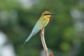 Blue tailed bee eater beautiful merops philippinus possing Royalty Free Stock Photography