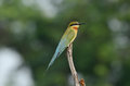 Blue tailed bee eater beautiful merops philippinus possing Royalty Free Stock Image
