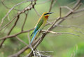 Blue tailed bee eater beautiful merops philippinus possing Stock Photography