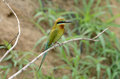 Blue tailed bee eater beautiful merops philippinus possing Stock Image