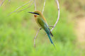 Blue tailed bee eater beautiful merops philippinus possing Stock Photos
