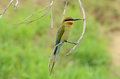 Blue tailed bee eater beautiful merops philippinus possing Royalty Free Stock Photo