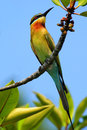 Blue-tailed Bee-eater Merops philippinus perching on twig, green and blue background, near to Yala National Park, Sri Lanka. Beaut Royalty Free Stock Photo
