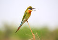 Blue tailed bee eater in nature Stock Photography