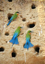 Blue tailed bee eater on sand Stock Photo