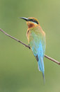 Blue tailed bee eater taken from lorong halus wetland of singapore Royalty Free Stock Photos