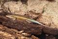 Blue tailed skink cryptoblepharus egeriae laying on old wood Royalty Free Stock Photo