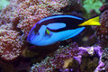 Blue Tang fish Stock Images