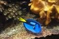Blue tang fish in aquatopia aquarium antwerpen belgium Stock Images