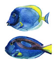 Blue tang fish isolated on white background Royalty Free Stock Photo