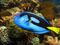 Blue tang marine fish a beautiful or regal in a heavily populated reef Stock Photography