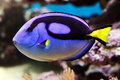 Blue tang paracanthursus hepatus a popular aquarium saltwater fish known as swim in a tank Royalty Free Stock Image