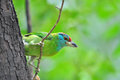 Blue-throated Barbet Stock Image
