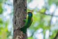 Blue throated barbet megalaima asiatica sitting on tree side Royalty Free Stock Image