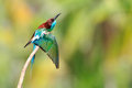 Blue-throated Bee-eater bird Royalty Free Stock Photography
