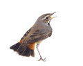 Blue throated robin bird isolated on a willow branch Stock Photography
