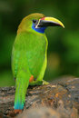 Blue-throated Toucanet, Aulacorhynchus prasinus, green toucan bird in the nature habitat, Costa Rica