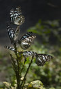 Blue Tiger butterflies Royalty Free Stock Photo
