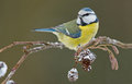 Blue tit on a alder branch in wintertime Stock Photo