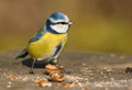 Blue tit in the autumn Royalty Free Stock Photo