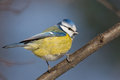 Blue tit in the autumn Royalty Free Stock Photography