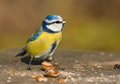 Blue tit in the autumn Stock Images