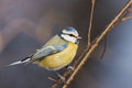 Blue tit in the autumn Royalty Free Stock Images