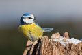 Blue tit in the autumn Royalty Free Stock Image