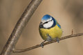 Blue tit in the autumn Stock Photography