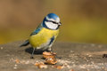 Blue tit in the autumn Stock Photos