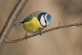 Blue tit in the autumn Stock Image