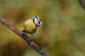 Blue tit with autumn colors Royalty Free Stock Images