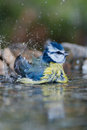 Blue tit bathing small bird parus caeruleus Royalty Free Stock Images