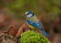 Blue tit beautiful little colorful bird be sure to feeding in winter Royalty Free Stock Photos