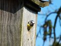 Blue tit a beautiful poking his head out of the bird box Stock Photography
