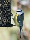 Blue tit bird on a bird feeder Royalty Free Stock Photo