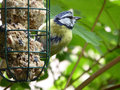 Blue Tit in Feather Molt at Bird Feeder - Cyanistes caeruleus Royalty Free Stock Photo