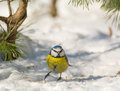Blue tit a bird in the wild Stock Image